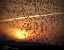Trækfugle